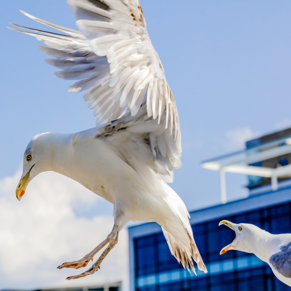 southie-gull2.jpg